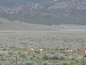 Nevada Antelope